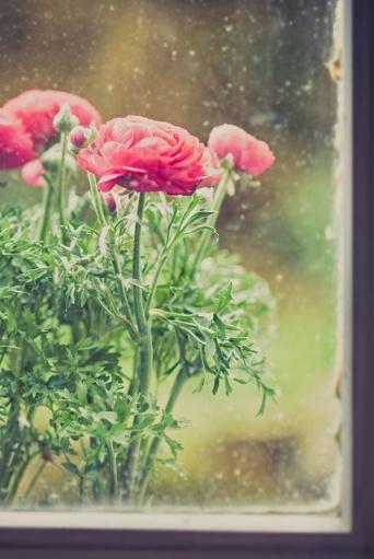 rainy ranuculous